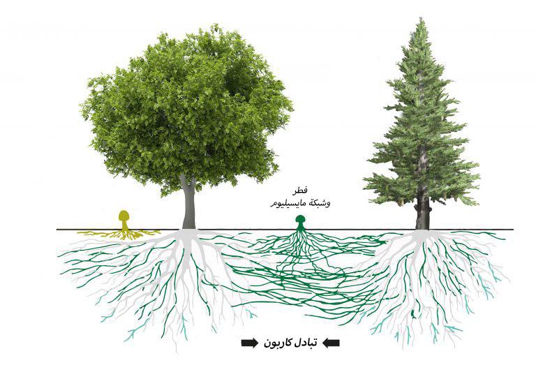 العلاقة بين الشجر والفطر Mycorrhiza.